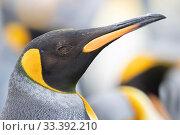 Купить «King penguin (Aptenodytes patagonicus)Salisbury Plane, South Georgia. November.», фото № 33392210, снято 2 июня 2020 г. (c) Nature Picture Library / Фотобанк Лори