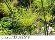 Papyrus plant in the sun (lat. Cyperus papyrus) Стоковое фото, фотограф Irina Opachevsky / Фотобанк Лори
