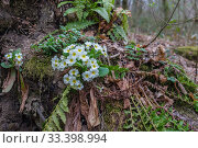 Купить «Краснодарский край, цветущая примула в горах Кавказа», фото № 33398994, снято 12 марта 2020 г. (c) glokaya_kuzdra / Фотобанк Лори
