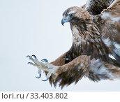 Golden eagle (Aquila chrysaetus), Kuusamo, Finland, January. Стоковое фото, фотограф Markus Varesvuo / Nature Picture Library / Фотобанк Лори