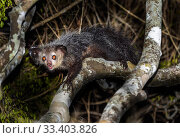 Купить «Aye-aye (Daubentonia madagascariensis) adult active and foraging in forest canopy at night. Daraina, northern Madagascar. Endangered endemic species.», фото № 33403826, снято 30 мая 2020 г. (c) Nature Picture Library / Фотобанк Лори