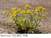 Купить «The plant (Senecio leucanthemifolius Poir.) grows close-up in spring», фото № 33407758, снято 11 марта 2020 г. (c) Татьяна Ляпи / Фотобанк Лори