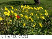 Купить «The plant (Senecio leucanthemifolius Poir.) grows close-up in spring», фото № 33407762, снято 12 марта 2020 г. (c) Татьяна Ляпи / Фотобанк Лори