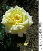 Купить «Роза чайно-гибридная Глория Дэй (Глория Дей, Глория Дей Пис, Мадам А. Мейян, Мадам Мэйян, Mme Antoine Meilland, Beke, Fredsrosen, M-me A. Meilland), (лат. Peace, Gloria Dei). Meilland Roses, France 1945», эксклюзивное фото № 33407906, снято 25 июня 2012 г. (c) lana1501 / Фотобанк Лори