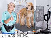 Купить «woman hairdresser posing with Afghan puppy Shepherd in beauty salon for animals», фото № 33408362, снято 17 октября 2017 г. (c) Татьяна Яцевич / Фотобанк Лори