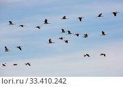 Купить «Flock of cranes flying in sky», фото № 33410242, снято 1 июня 2020 г. (c) Яков Филимонов / Фотобанк Лори