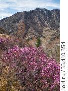 Купить «Rhododendron dauricum bushes with flowers (popular names bagulnik, maralnik) with altai river Katun on background.», фото № 33410354, снято 29 апреля 2019 г. (c) Serg Zastavkin / Фотобанк Лори