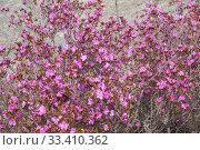 Купить «Rhododendron dauricum bushes with flowers (popular names bagulnik, maralnik) with altai river Katun on background.», фото № 33410362, снято 29 апреля 2019 г. (c) Serg Zastavkin / Фотобанк Лори