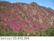 Купить «Mountain slopes covered by Rhododendron dauricum bushes with flowers (popular names bagulnik, maralnik).», фото № 33410394, снято 30 апреля 2019 г. (c) Serg Zastavkin / Фотобанк Лори