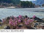 Купить «Rhododendron dauricum bushes with flowers (popular names bagulnik, maralnik) with altai river Katun and mountains on background.», фото № 33410410, снято 30 апреля 2019 г. (c) Serg Zastavkin / Фотобанк Лори