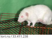 Купить «White domestic rat», фото № 33411238, снято 7 марта 2014 г. (c) Argument / Фотобанк Лори