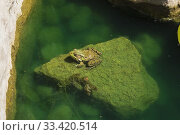 Close-up of Rana clamitans - Green Frog resting on a rock covered with Chlorophyta - Green Algae in a pond in late spring, Laurentians, Quebec, Canada. Стоковое фото, фотограф Perry Mastrovito / age Fotostock / Фотобанк Лори