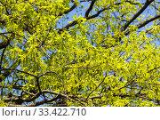 Купить «Цветущий дуб черешчатый (Quercus robur), солнечный день в мае. Аптекарский Огород (филиал ботанического сада МГУ), Москва.», фото № 33422710, снято 6 мая 2019 г. (c) Сергей Рыбин / Фотобанк Лори