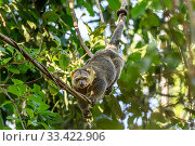 Sulawesi bear cuscus or Sulawesi bear phalanger (Ailurops ursinus) adult in forest canopy, showing use of prehensile tail. Tangkoko National Park, Sulawesi, Indonesia. Редакционное фото, фотограф Nick Garbutt / Nature Picture Library / Фотобанк Лори