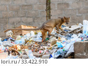 Купить «Fosa / Fossa (Cryptoprocta ferox) male scavenging on field camp rubbish tip in dry decidous forest. Kirindy, western Madagascar. Endangered.», фото № 33422910, снято 30 мая 2020 г. (c) Nature Picture Library / Фотобанк Лори