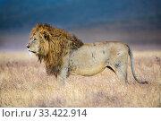 Lion (Panthera leo) male. Ngorongoro Crater, Ngorongoro Conservation Area (NCA), Tanzania. Стоковое фото, фотограф Nick Garbutt / Nature Picture Library / Фотобанк Лори