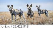 Купить «African painted dogs (Lycaon pictus) outside den, Engusoro Plain, Ngorongoro Conservation Area (NCA) / Serengeti. Tanzania.», фото № 33422918, снято 30 мая 2020 г. (c) Nature Picture Library / Фотобанк Лори