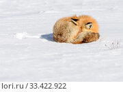 Red fox (Vulpes vulpes) sleeping on snow. Hayden Valley, Yellowstone, USA. January. Стоковое фото, фотограф Nick Garbutt / Nature Picture Library / Фотобанк Лори