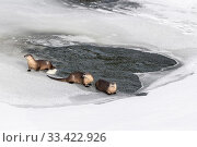 Купить «North American river otters (Lutra canadiensis) probaly female with two juveniles, on the frozen river edge. Upper Yellowstone River, Hayden Valley, Yellowstone, USA. January», фото № 33422926, снято 30 мая 2020 г. (c) Nature Picture Library / Фотобанк Лори