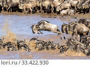 Herds of White-bearded wildebeest (Connochaetes taurinus albojubatus) crossing the Mara River. Northern Serengeti, Serengeti National Park, Tanzania. Стоковое фото, фотограф Nick Garbutt / Nature Picture Library / Фотобанк Лори