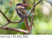 Купить «Lilac kingfisher / Celebes flat-billed kingfisher (Cittura cyanotis) in forest canopy. Tangkoko National Park, Sulawesi, Indonesia.», фото № 33422942, снято 30 мая 2020 г. (c) Nature Picture Library / Фотобанк Лори