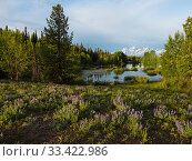 Купить «Pool beside the Pilgrim Creek road with Silvery lupine (Lupinus albifrons) in the foreground and the Teton range of mountains beyond, Grand Teton National Park, Wyoming, USA, June 2019», фото № 33422986, снято 29 мая 2020 г. (c) Nature Picture Library / Фотобанк Лори