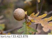 Купить «Oak gall produced by the insect cynipidae Andricus hispanicus. This photo was taken in Prades Mountains, Tarragona province, Catalonia, Spain.», фото № 33423878, снято 31 октября 2019 г. (c) age Fotostock / Фотобанк Лори
