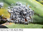 Купить «Cochineal (Dactylopius coccus) is an hemiptera insect that which dye carmine is extracted. This photo was taken in Guatiza, Lanzarote Island, Canary Islands, Spain.», фото № 33423902, снято 16 мая 2019 г. (c) age Fotostock / Фотобанк Лори