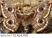 Small emperor moth (Eudia pavonia or Saturnia pavonia) is a moth native to Eurasia. Adult. Стоковое фото, фотограф J M Barres / age Fotostock / Фотобанк Лори