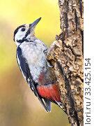 Great Spotted Woodpecker, Dendrocopos major, Pico Picapinos, Castilla y León, Spain, Europe. Стоковое фото, фотограф Alberto Carrera / age Fotostock / Фотобанк Лори