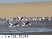 Купить «Greater flamingos (Phoenicopterus ruber) in the Walvis Bay Lagoon, one of the most important wetlands for birds along the southern African coast, Namib...», фото № 33430078, снято 29 марта 2020 г. (c) Nature Picture Library / Фотобанк Лори