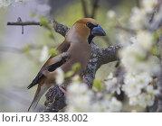 Купить «Hawfinch (Coccothraustes coccothraustes). Botkyrka, Stockholm.», фото № 33438002, снято 6 мая 2019 г. (c) age Fotostock / Фотобанк Лори