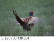 Купить «Pheasant (Phasanicus colchicus). Botkyrka, Stockholm, Sweden.», фото № 33438054, снято 19 мая 2019 г. (c) age Fotostock / Фотобанк Лори