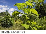 Купить «Paulownia tomentosa - Empress tree in backyard garden in summer, Jardin du Grand Portage garden, Saint-Didace, Lanaudiere, Quebec, Canada. This image is...», фото № 33438174, снято 19 августа 2012 г. (c) age Fotostock / Фотобанк Лори