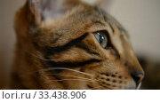 Купить «Bengal kitten calm home at home closeup», видеоролик № 33438906, снято 26 марта 2020 г. (c) Mikhail Erguine / Фотобанк Лори