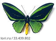 Priam's birdwing (Ornithoptera priamus poseidon) is a butterfly native to New Guinea. Male, dorsal side. Стоковое фото, фотограф J M Barres / age Fotostock / Фотобанк Лори