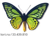 Priam's birdwing (Ornithoptera priamus poseidon) is a butterfly native to New Guinea. Male, ventral side. Стоковое фото, фотограф J M Barres / age Fotostock / Фотобанк Лори
