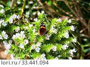 Red admiral (Vanessa atalanta) is a cosmopolitan butterfly. Стоковое фото, фотограф J M Barres / age Fotostock / Фотобанк Лори