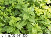 Купить «Mentha - Mint culinary herb plants being grown organically in containers inside a greenhouse.», фото № 33441530, снято 30 мая 2018 г. (c) age Fotostock / Фотобанк Лори