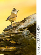 Crested Tit, Parus cristatus, Herrerillo Capuchino, Castilla y León, Spain, Europe. Стоковое фото, фотограф Alberto Carrera / age Fotostock / Фотобанк Лори