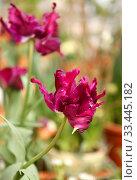 Купить «Red Parrot Tulip, beautiful variety of Tulip with vivid petals», фото № 33445182, снято 20 февраля 2020 г. (c) Валерия Попова / Фотобанк Лори