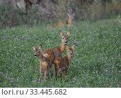 Купить «Roe deer with fawn, Botkyrka, Sodermanland, Sweden.», фото № 33445682, снято 15 августа 2019 г. (c) age Fotostock / Фотобанк Лори