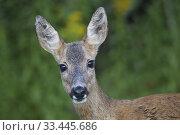 Купить «Roe deer, Botkyrka, Sodermanland, Sweden.», фото № 33445686, снято 12 августа 2019 г. (c) age Fotostock / Фотобанк Лори