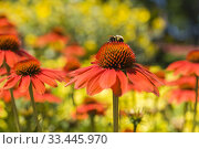 Купить «Bumbus - Bumblebee foraging for nectar on Echinacea 'Sombrero Adobe Orange' - Coneflower in summer, Montreal, Quebec, Canada.», фото № 33445970, снято 29 июля 2017 г. (c) age Fotostock / Фотобанк Лори