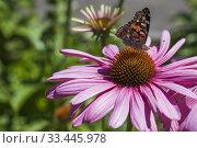Купить «Rhopalocera - Butterfly foraging for nectar on pink Echinacea - Coneflower in summer, Montreal, Quebec, Canada.», фото № 33445978, снято 29 июля 2017 г. (c) age Fotostock / Фотобанк Лори