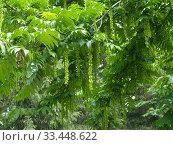 Лапина ясенелистная с плодами (Pterocarya fraxinifolia) Стоковое фото, фотограф Ирина Борсученко / Фотобанк Лори