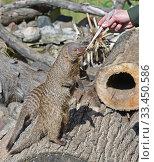 Купить «Zookeeper feeds animal. Banded mongoose (Mungos mungo)», фото № 33450586, снято 29 августа 2019 г. (c) Валерия Попова / Фотобанк Лори