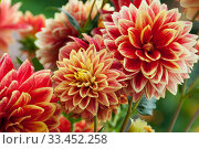 Red and yellow fluffy dahlias in bloom. Стоковое фото, фотограф Короленко Елена / Фотобанк Лори
