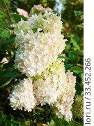 Hydrangea Paniculata Vanille Fraise, flowers close up. Стоковое фото, фотограф Короленко Елена / Фотобанк Лори