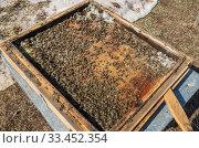 Купить «Мёртвые пчёлы после зимовки. Пчелиный подмор. Варроатоз. Colony collapse disorder: dead bees after wintering. Varroosis.», фото № 33452354, снято 29 марта 2020 г. (c) Евгений Романов / Фотобанк Лори